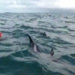 Dolphins Protect Long-Distance Swimmer From Great White Shark